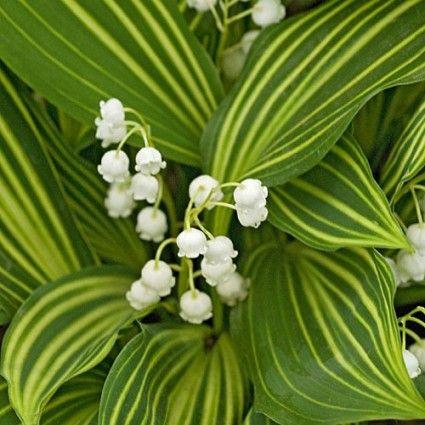 Convallaria Majalis Striata Avant Gardens Nursery Design Shade Perennials Garden Nursery Variegated Plants