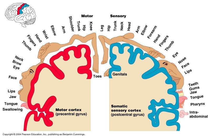 Primary Somatic Sensory Neurons Google Search Big Things Matter
