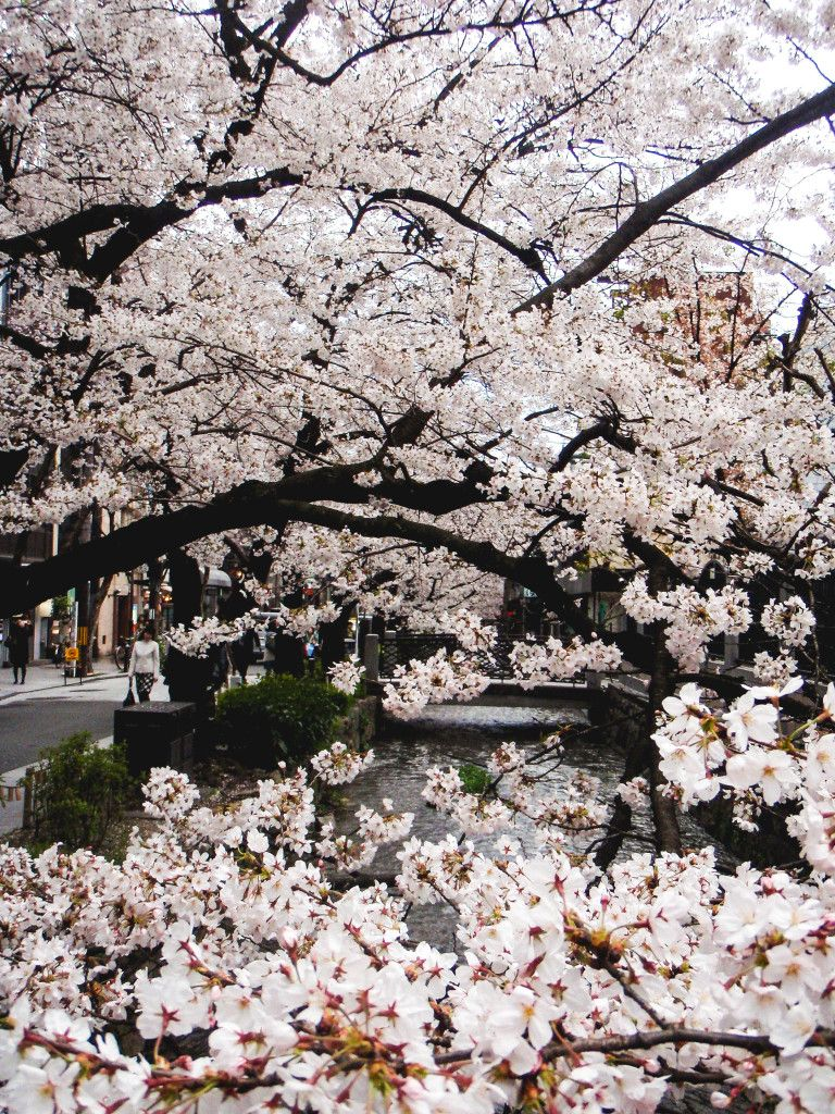 Kyoto During Cherry Blossom Season #cherryblossoms #japan #kyoto #wanderlust…