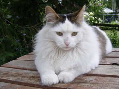 Interested In Getting A Turkish Angora See Pictures And Learn About Its Size Personality Health Costs Of Ownership And More
