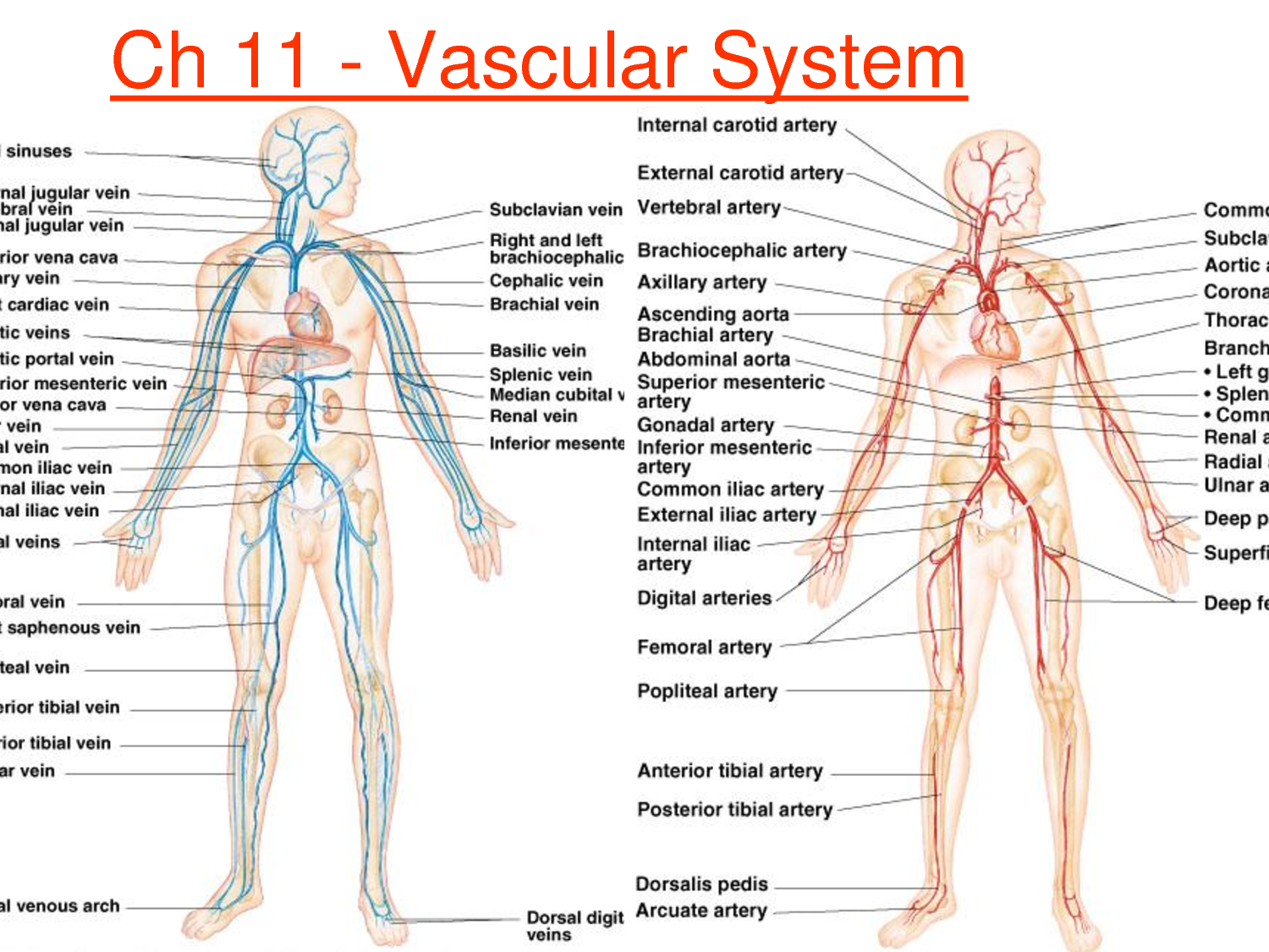 The human arterial and venous system
