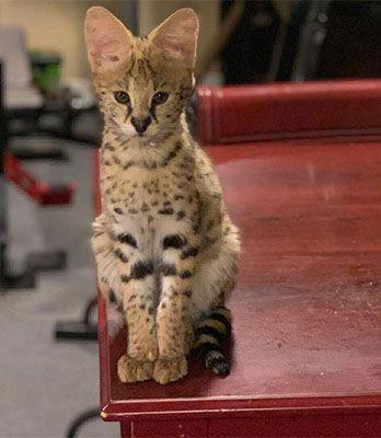 F3 Savannah Cats Savannah Cat Ideas Of Savannah Cat Savannahcat F3 Savan Savannah Cat Ideas Of Savannah Ca F3 Savannah Cat Savannah Cat Small Wild Cats