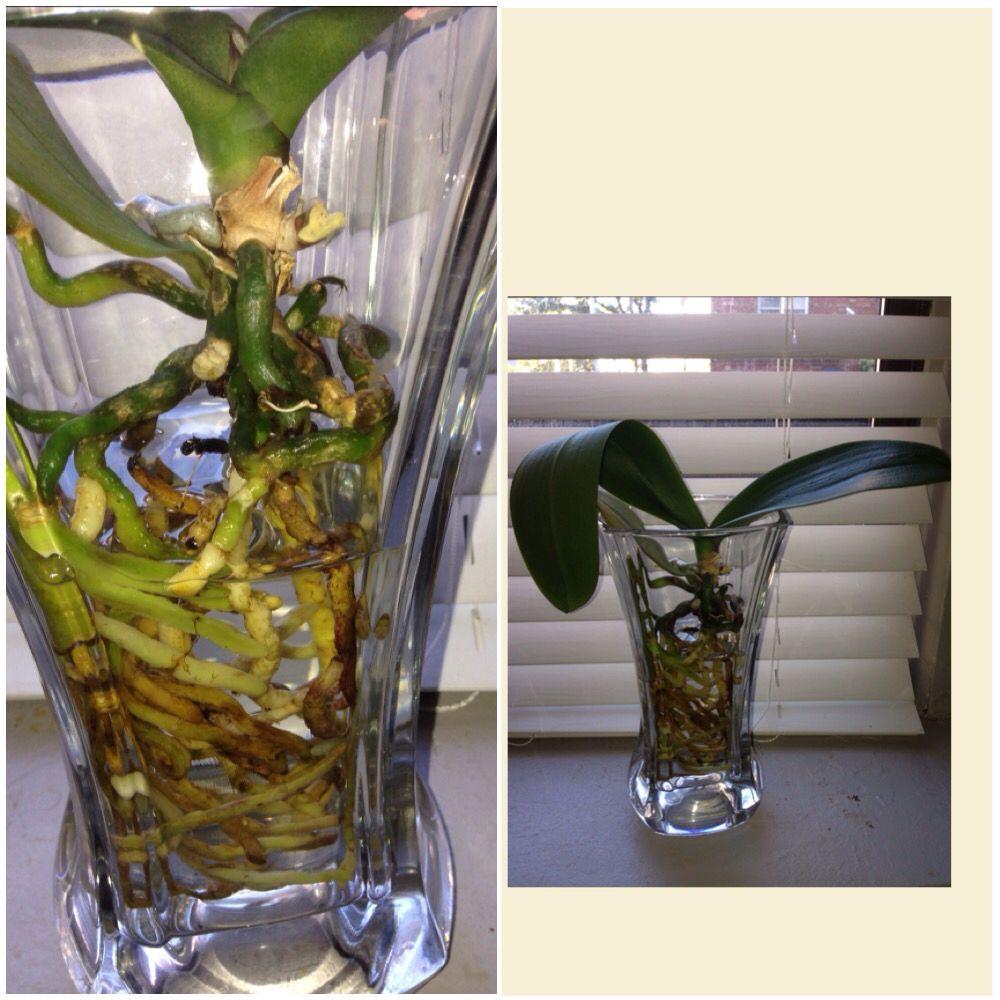 Semi water culture orchid