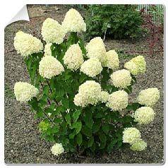 hortensia-de-paniculas-limelight   Plantes qui aiment l ...