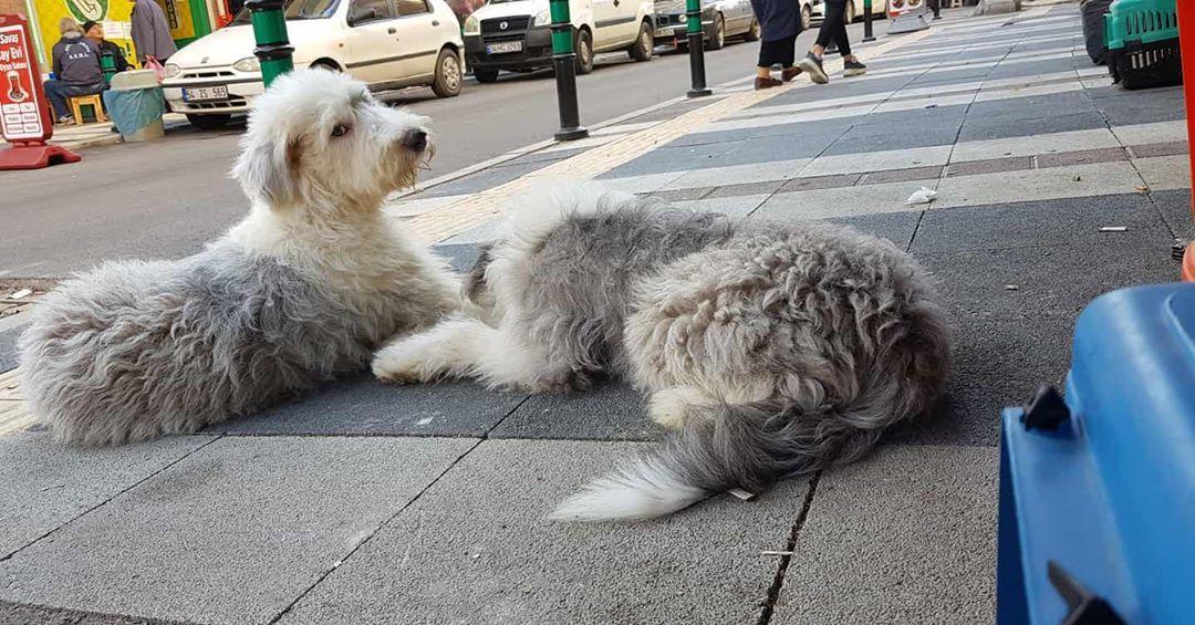 #bobtailofinstagram #bobtailsofinstagram #bobtails #bobtailpuppy #bobtail #bobtaildog #dogkennelsakarya #dogsofinstagram...