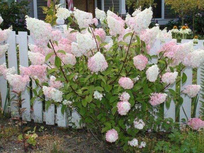Hydrangea Vanilla Strawberry Tree Form   Home: Backyard ...