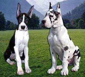 Great Dane These Seventeen Weeks Old Puppies One American