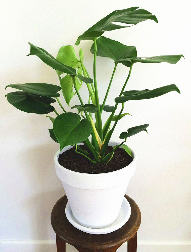 Fruit Salad Plant Monstera Deliciosa Such A Great Plant