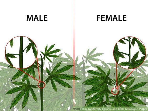 Identify Female and Male Marijuana Plants   Pinterest   Abi