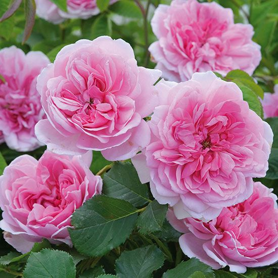 Rose Maid Marion 3 Feet Tall And Wide Zones 5 10 Blooms June August Aromatic Bhg Com Flowers English Roses Rose