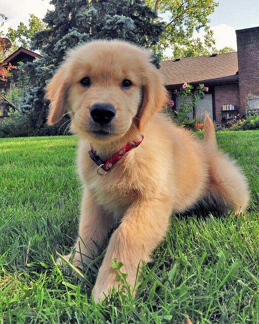 Ashley Little Golden Retriever puppy