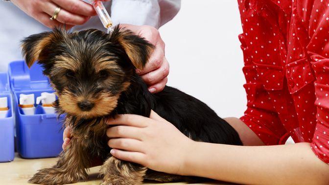 Первые прививки щенкам: как защитить малыша от опасных инфекций  Смотри больше http://kot-pes.com/pervye-privivki-shhenkam-kak-zashhitit-malysha-ot-opasnyx-infekcij/