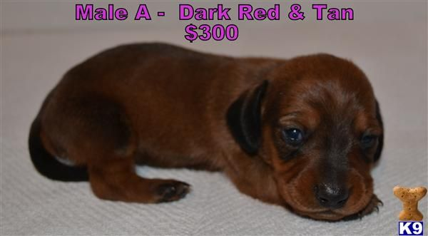 Miniture Dachshunds A Dachshund Pup For Sale Located In St Louis