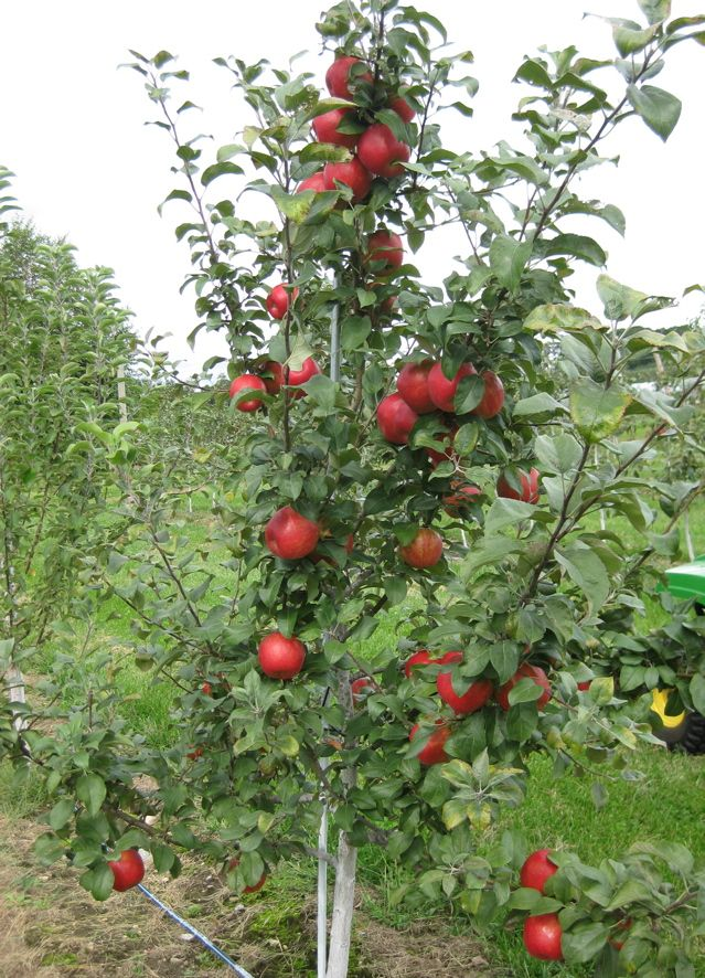 Honeycrisp Le Tree My 2nd Favorite Type Of Backyard Wish
