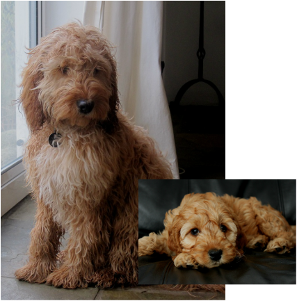 Before And After The Cockapoo Club Of Gb In 2020 Miniature