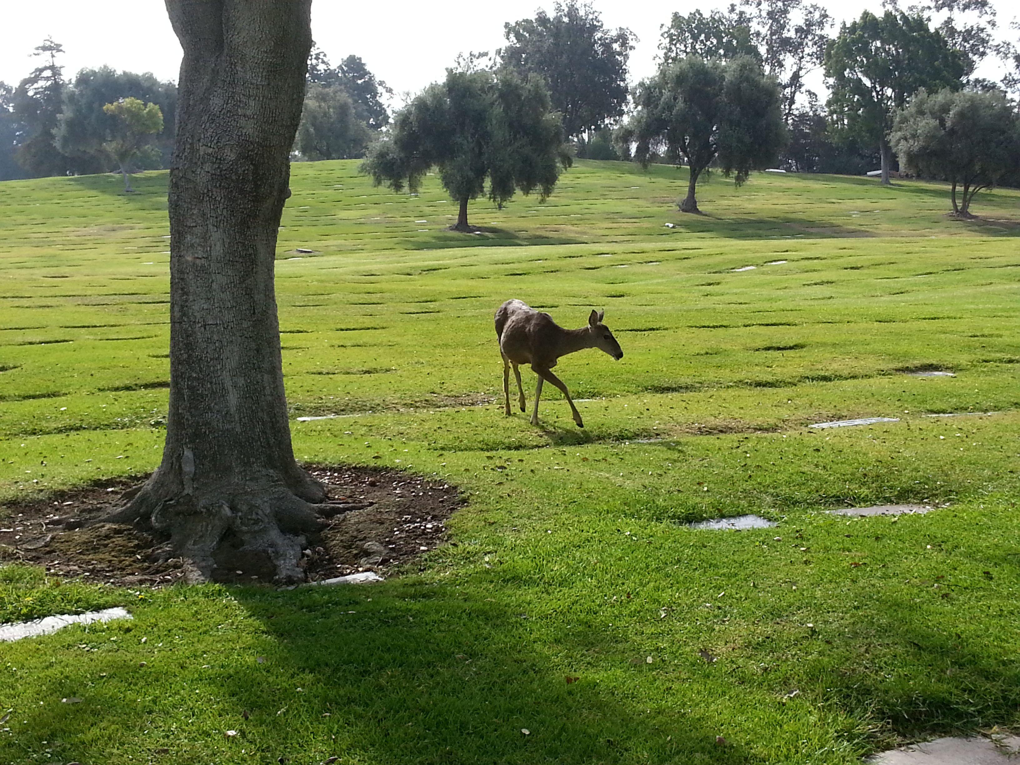 Deer Grazing Near Gate 17 Of Rose Hills Memorial Park In Whittier Calif Www Rosehills Com Rose Hill Memorial Park Whittier California