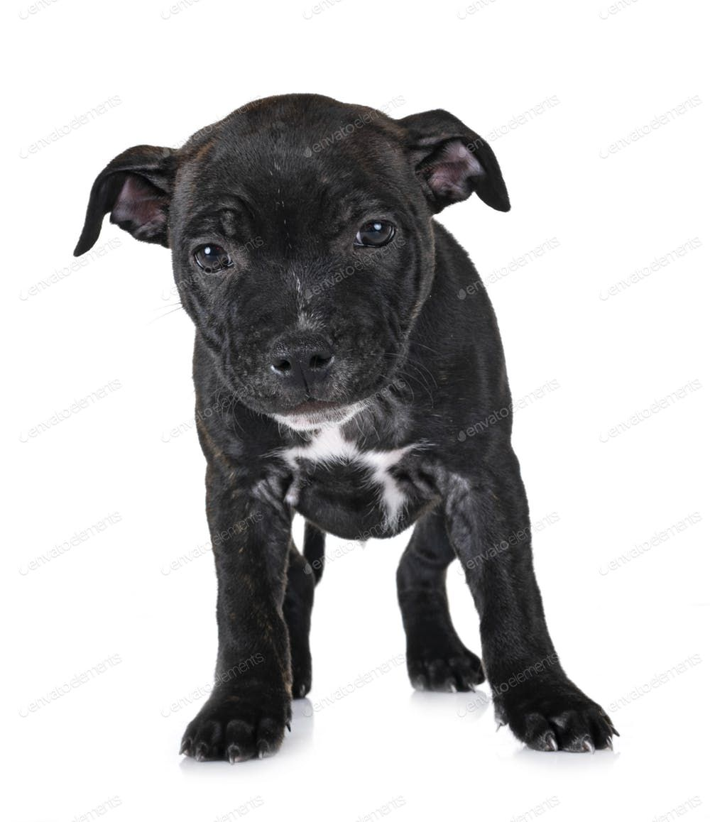 Puppy Staffordshire Bull Terrier By Cynoclub S Photos Ad Ad