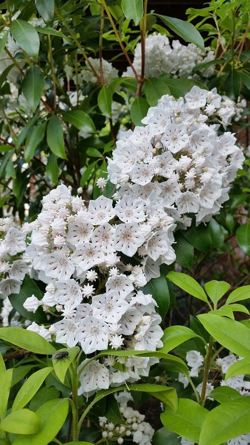Mountain Laurel Rabbit And Deer Resistant Broad Leaf Evergreen Shrub Or Small Tree That Is Native To Eastern North Ame Rabbit Resistant Plants Shrubs Plants