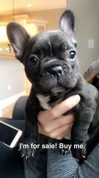 French Bulldog Puppy For Sale In Traverse City Mi Adn 26354 On