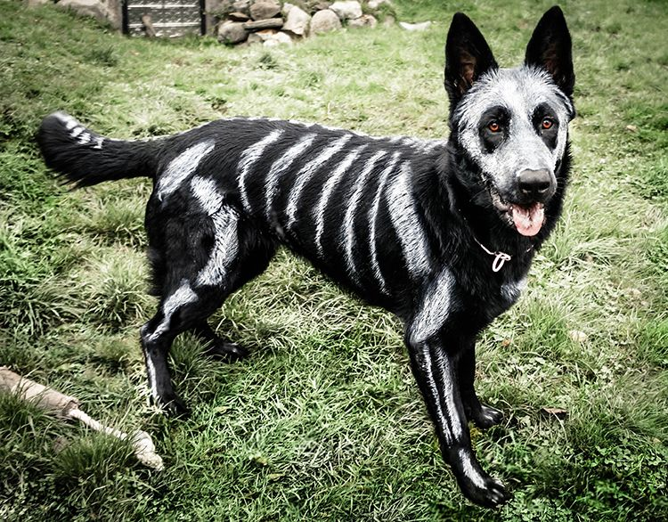 Artist Turns Her Black German Shepherd Into An Adorable Skeleton