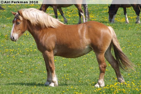 Estonian Draught - mare Killu