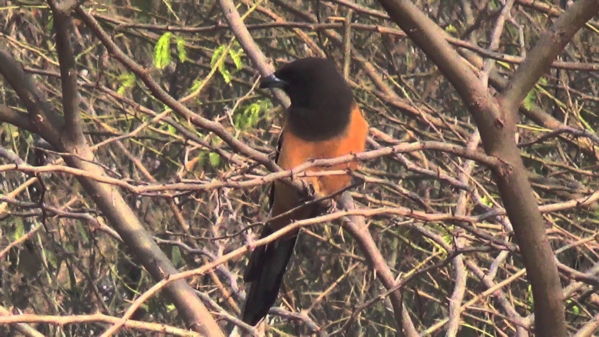 Rufous Treepie (SHRIKANT MADHAV KELKAR) (With images