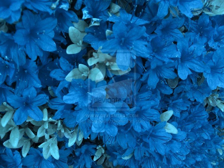 Blue Azaleas Azalea Flower Azaleas Blue Plants