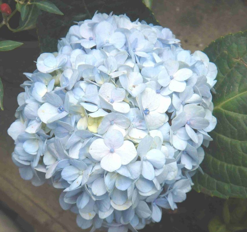 Hydrangea Blue Hydrangea Light Blue Wedding Cake Spring Flowers