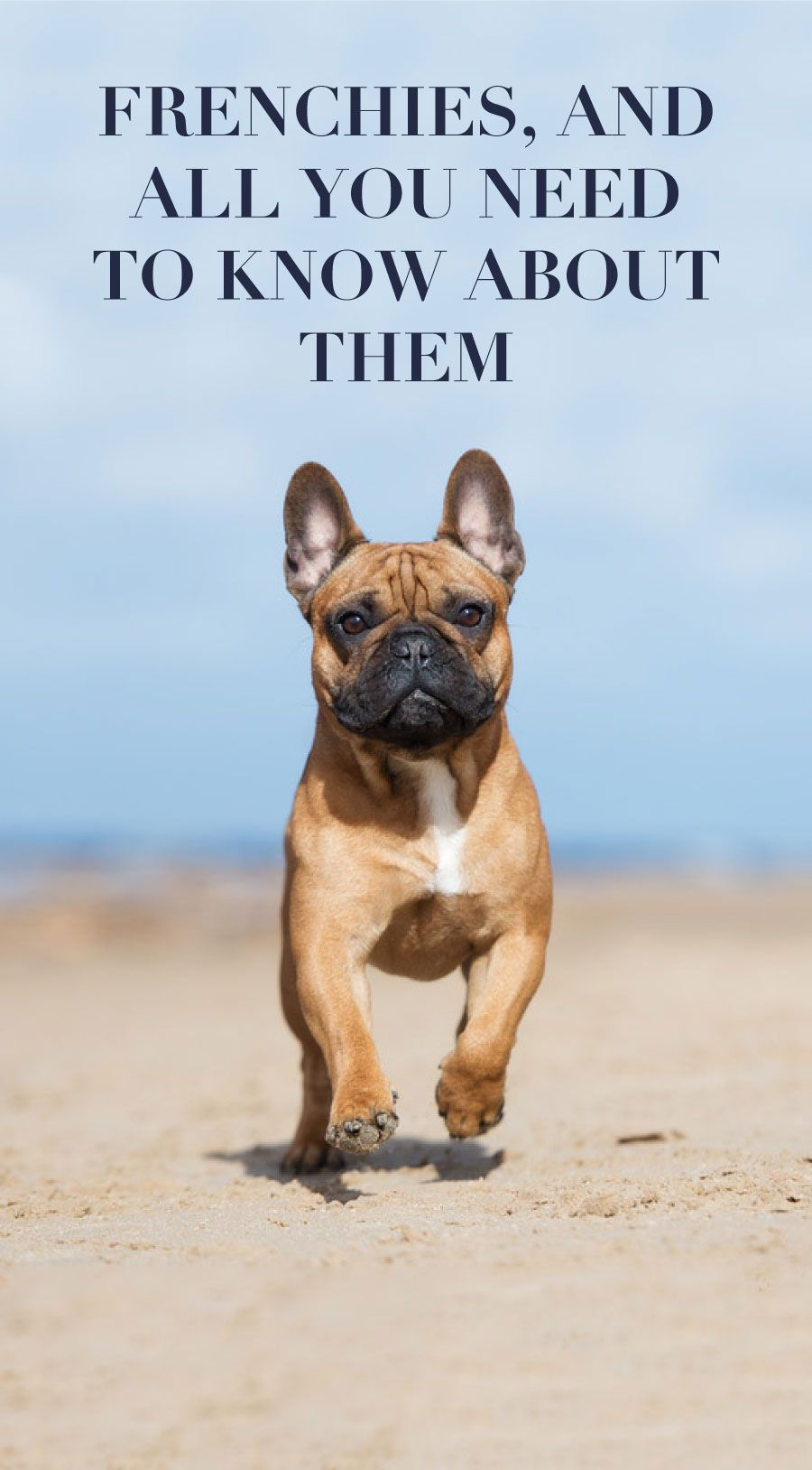 Dog breeds the French bulldog Bulldog, French bulldog, Dogs