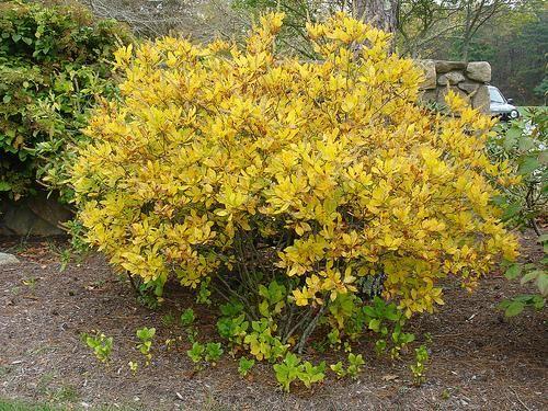 Clethra alnifolia fall foliage