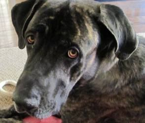 Adopt Buddy Adopted On Great Dane Dogs Great Dane Mastiff