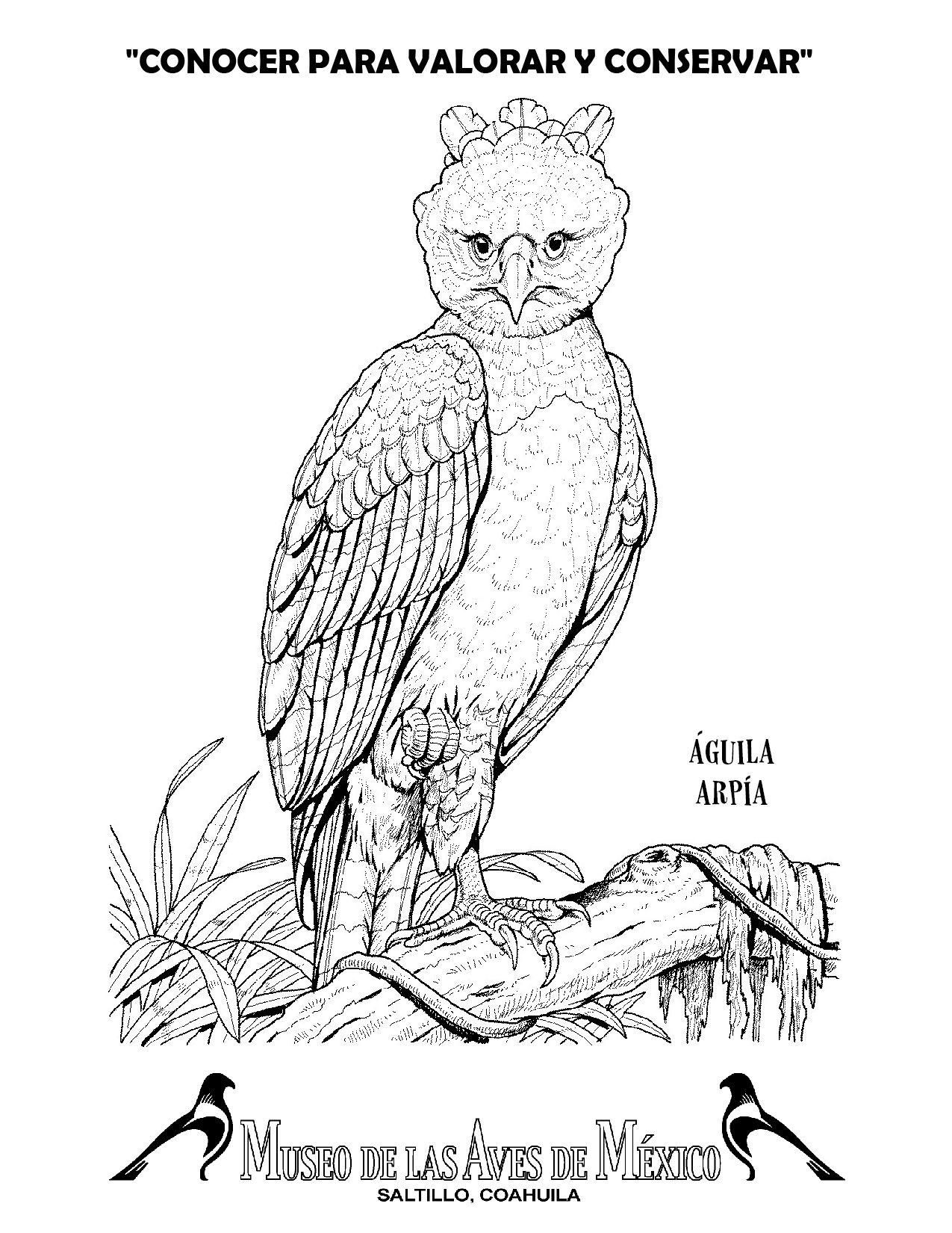 guila arpa descarga imprime pinta museo de las aves de mxico