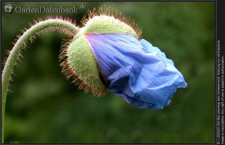 Blauer Mohn Ziestblattriger Scheinmohn Tibet Scheinmohn Meconopsis Betonicifolia Aufbrechende Blutenknospe Blauer Mohn Mohn Blumenfotos
