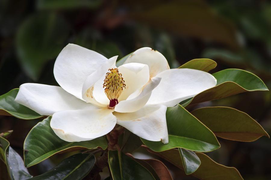 White Magnolia Magnolia Tree Types Southern Magnolia Magnolia Trees