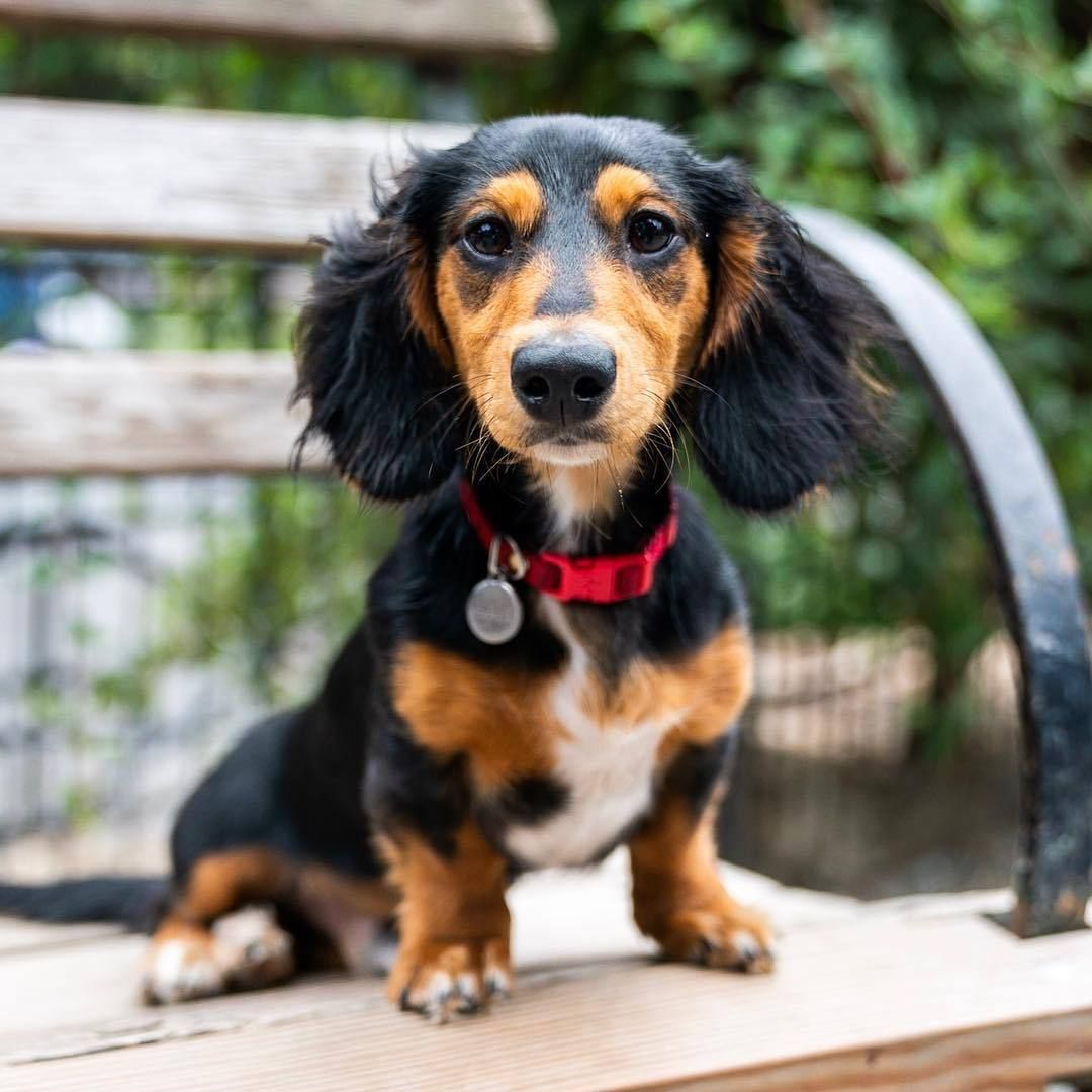 Source Instagram Com Thedogist Tux Dachshund 6 M O Union Square