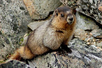 "Hoary Marmot or ""whistle pig"" from the call it gives out when there is danger."