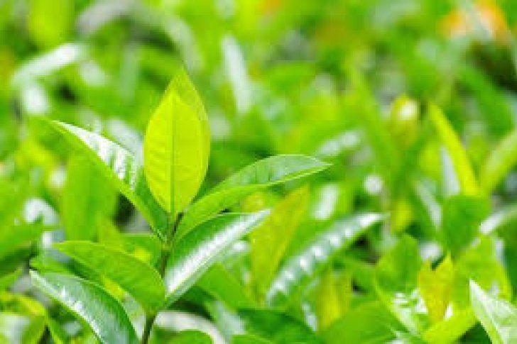 <p>15/01/2016/El Comercio/YR Según investigadores chinos, las hojas de té halladas datan de hace 2.100 años, lo que adelanta los registros en un milenio Científicos que estudian una tumba imperial de 2.100 años de antigüedad en China descubrieron en ella las…</p>