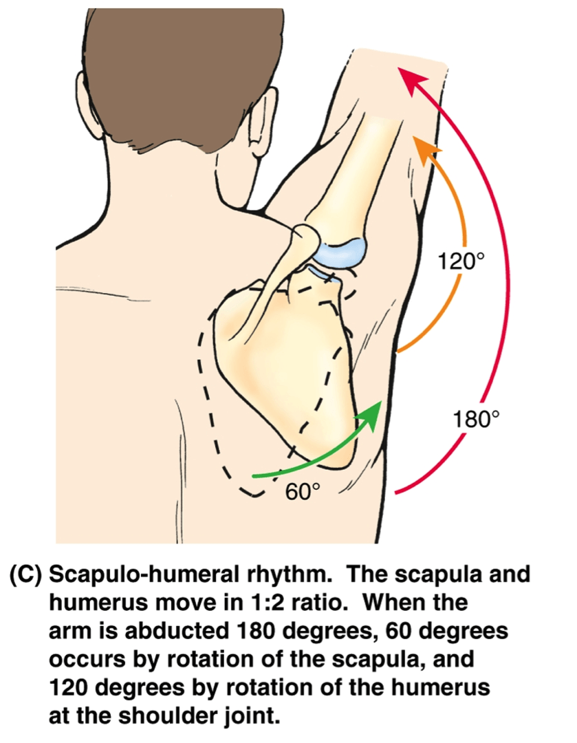 Image result for lateral rotation of scapula | Scapulo-Humeral ...