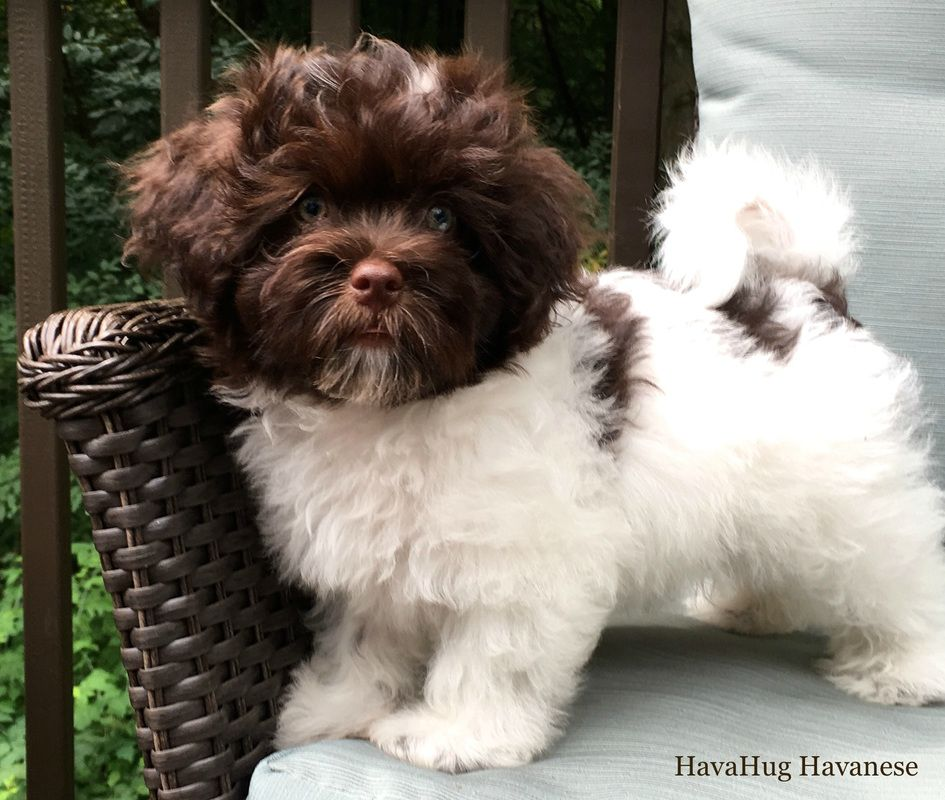 HavaHug Havanese Puppies Havanese puppies, Havanese dogs