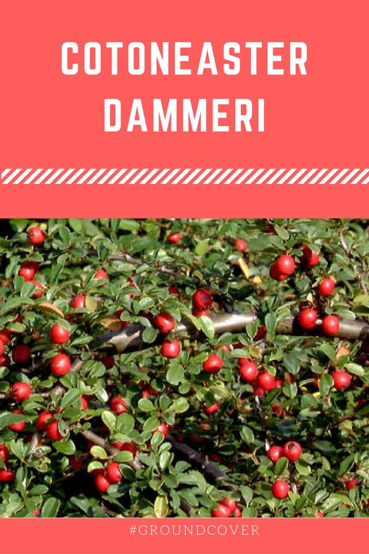 Cotoneaster Dammeri A Vigorous Wide Spreading Ground Cover With