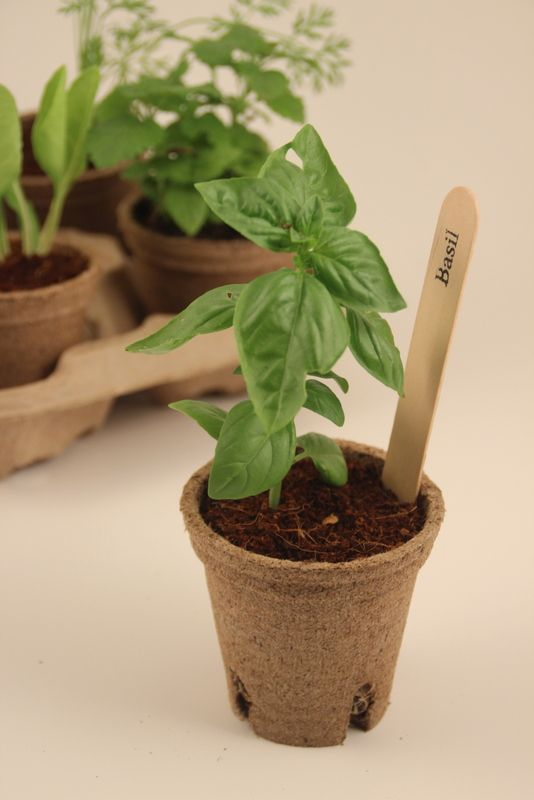 plant the jiffy pot directly into a larger pot or in the ground