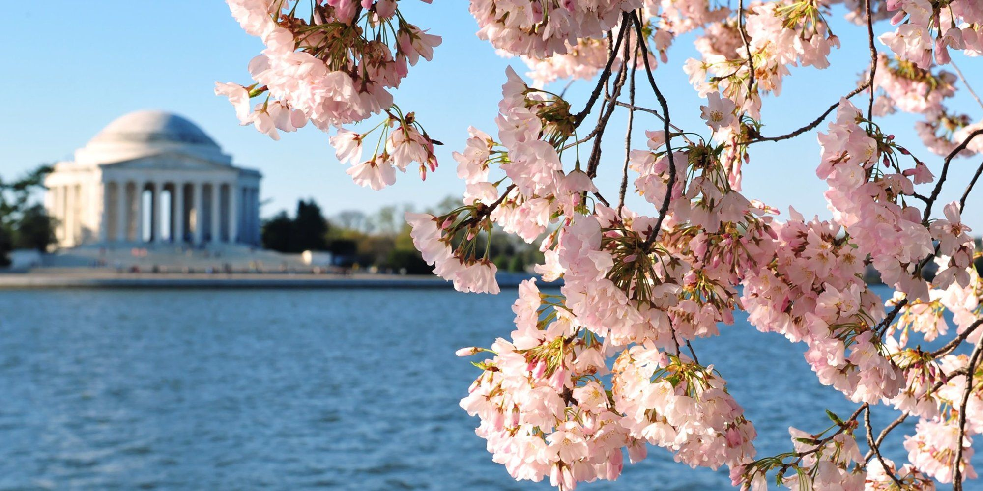 Freakishly Warm February Could Ring In Earliest Cherry Blossom Peak Bloom On Record Cherry Blossom Blossom Bloom