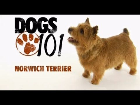 Dogs 101 Norwich Terrier Eng Norwich Terrier Dogs 101 Terrier