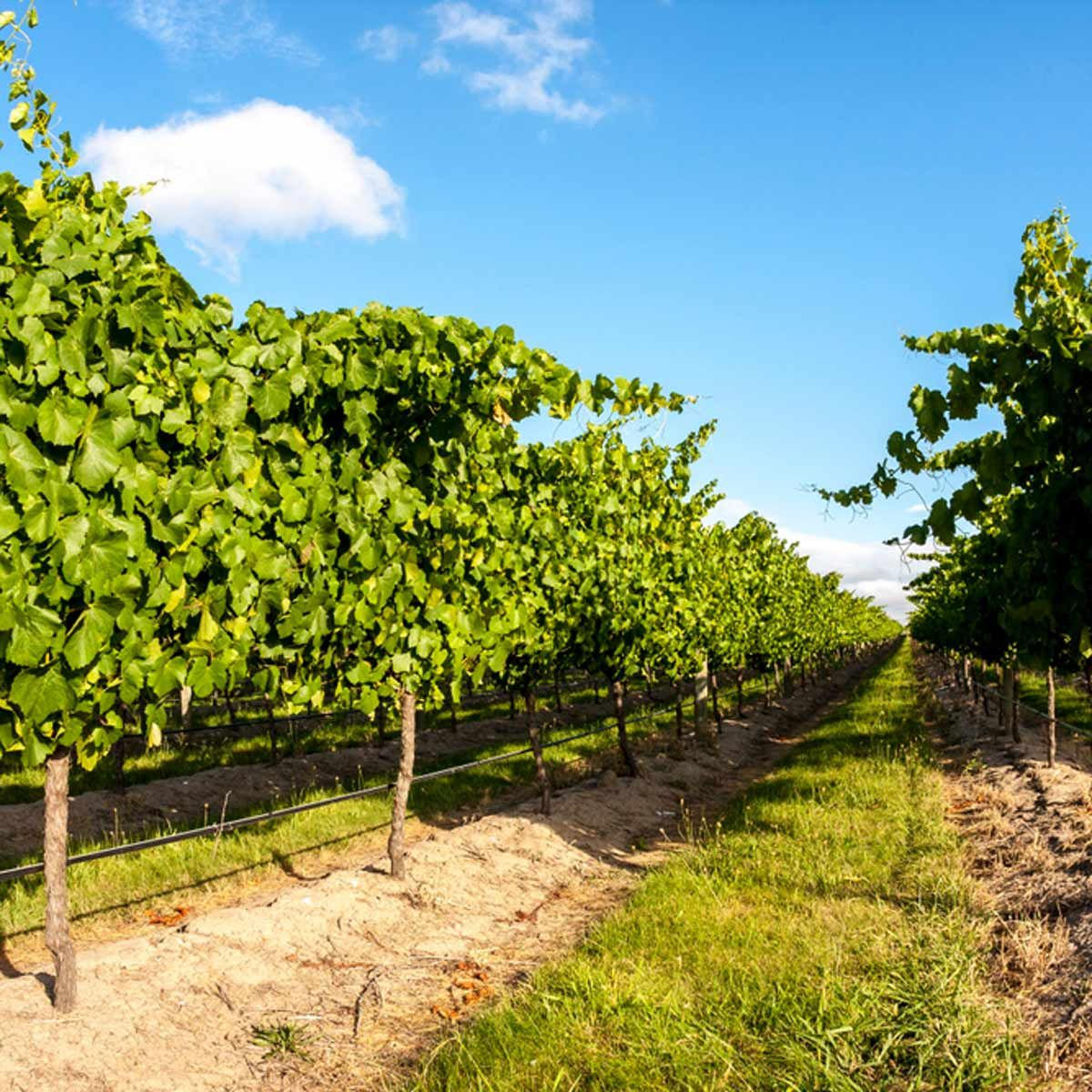 How To Grow Grapes In The Home Garden