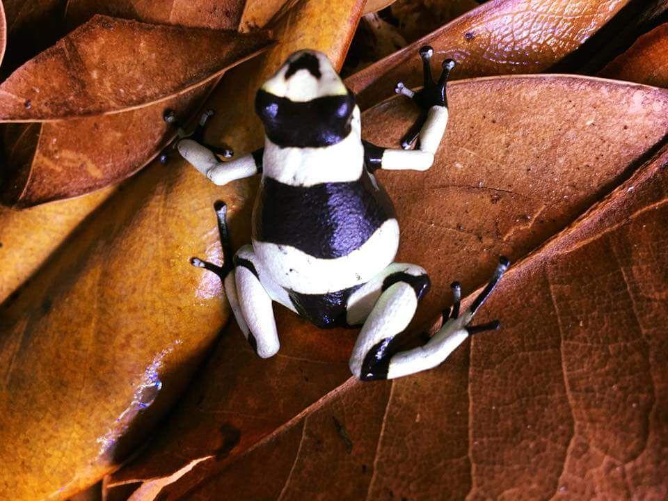 Oophaga lehmani Dart Frog \
