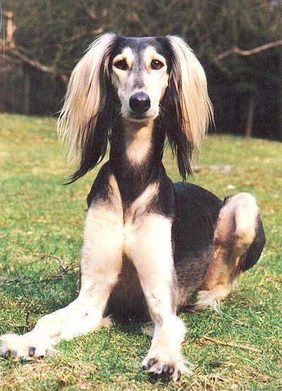 Dog Stuff Salukis On Show Saluki Dogs Dogs Dog Names