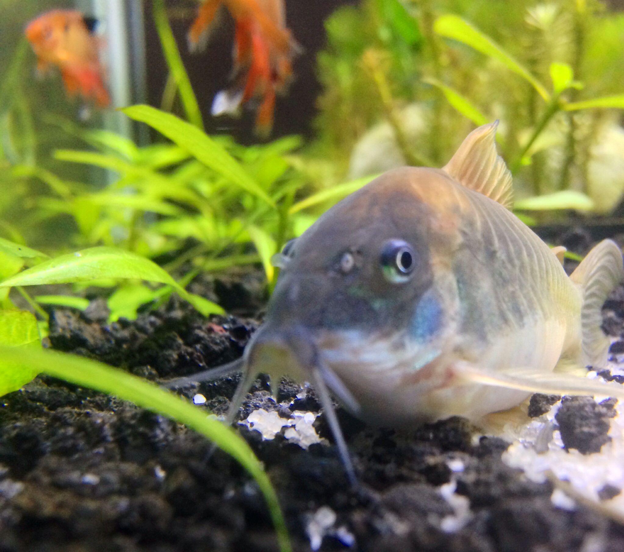 Red tail catfish eating my koi fish