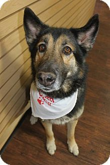 German Shepherd Dog Mix Dog For Adoption In Detroit Michigan