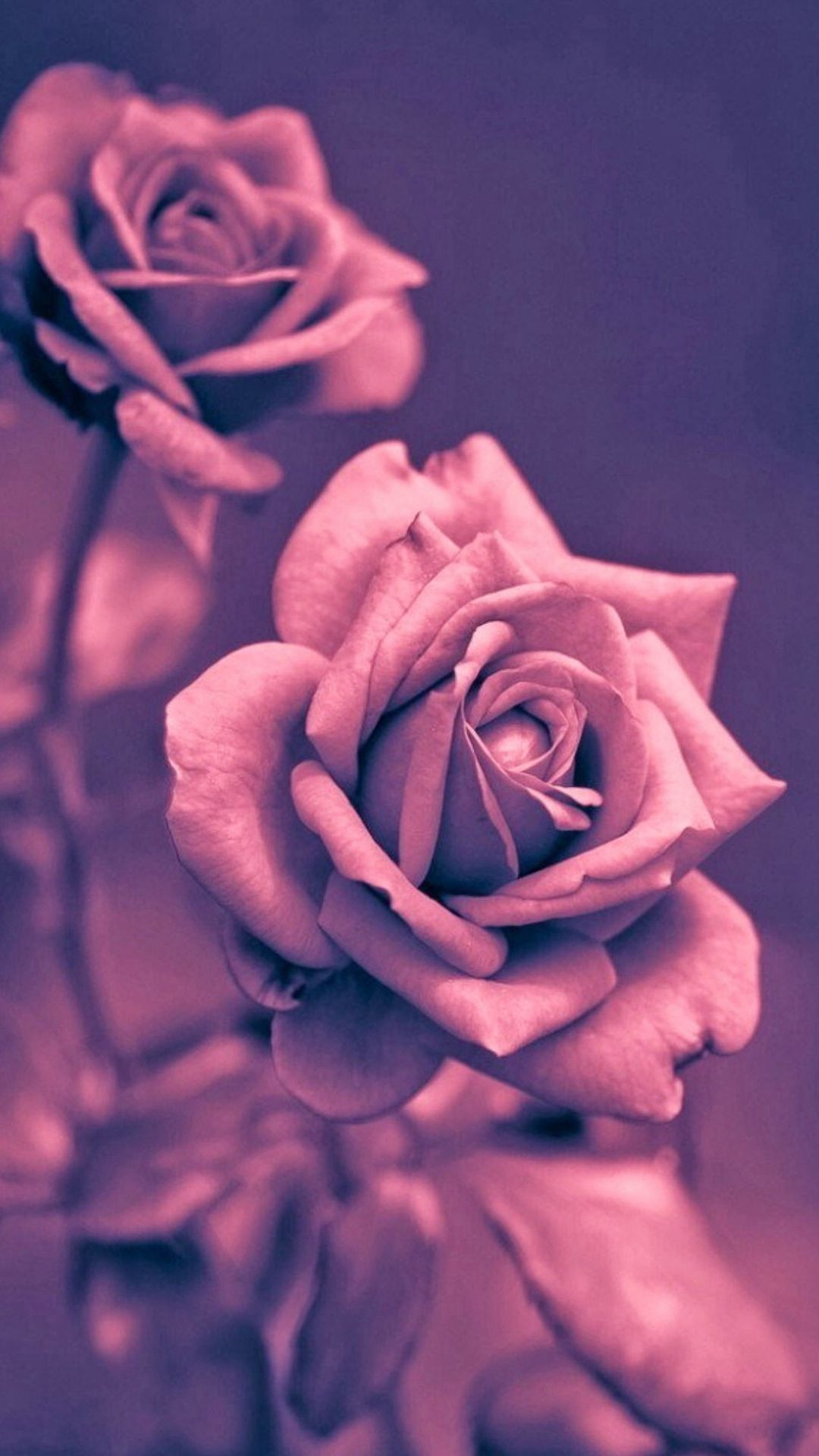 Beautiful Pink Rose Closeup Iphone 7 Wallpaper Gold Wallpaper Iphone Rose Gold Wallpaper Iphone Rose Wallpaper