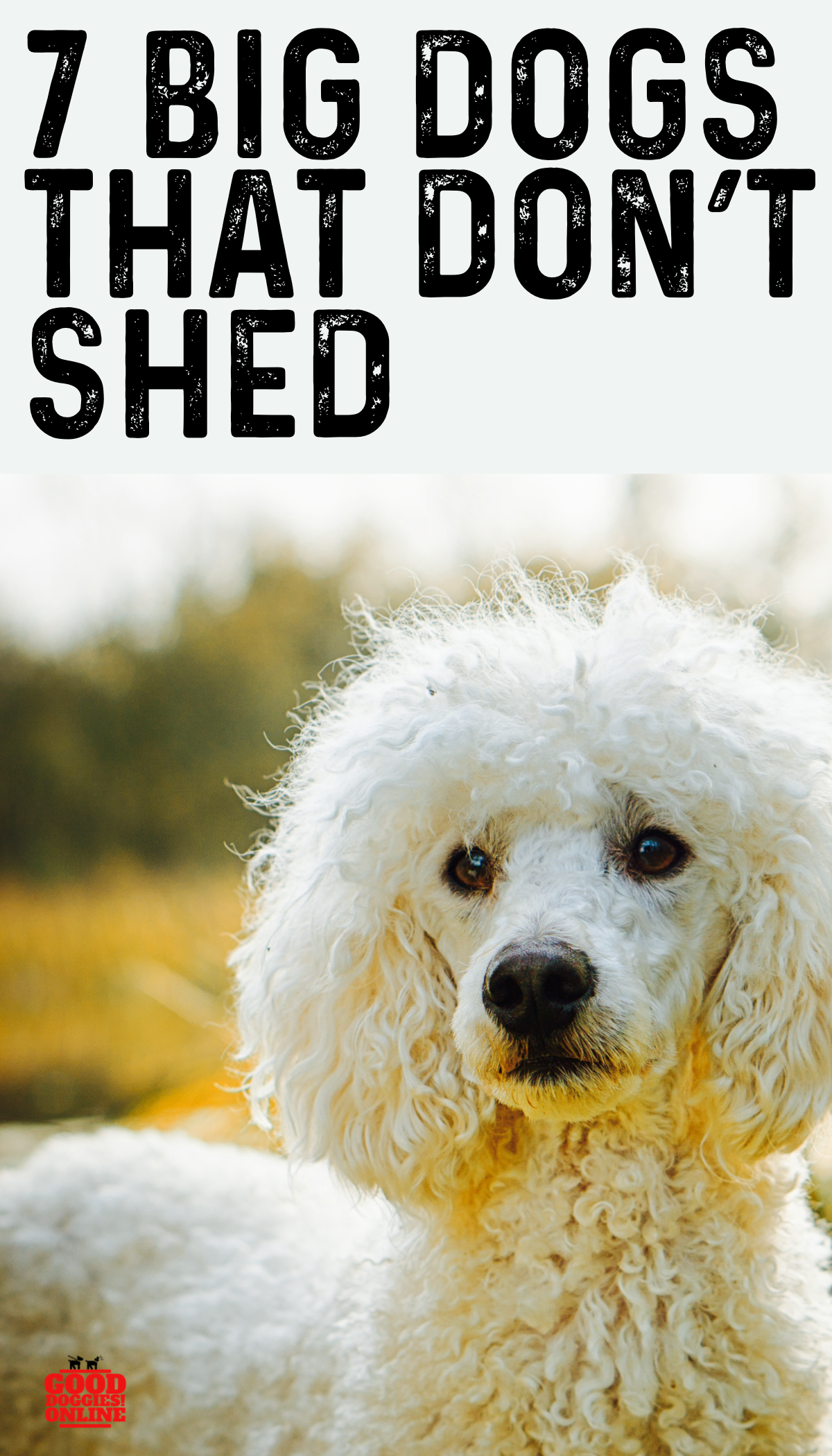 Large Dog Breeds That Don T Shed 7 Non Shedding Dogs Good Doggies Online In 2020 No Shed Dog Breeds Big Dog Little Dog Big Dog Breeds